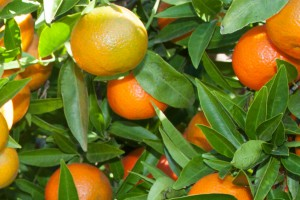 Le Clementine di Calabria IGP