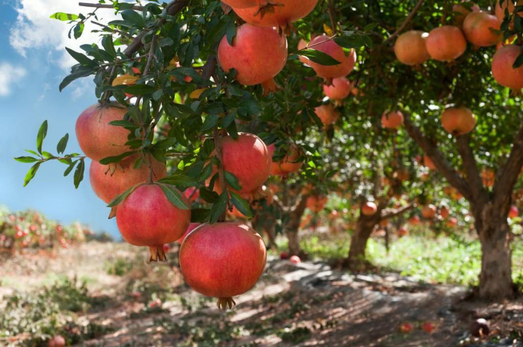 melograno_coltivazione_varieta_cultivar